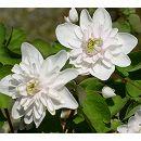 バイカカラマツ:八重白花3号ポット