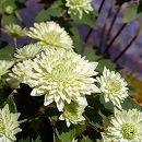 バイカカラマツ:八重緑花3号ポット