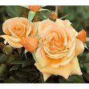 四季咲中輪バラ:フレグラントアプリコット大苗