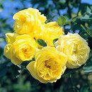 四季咲中輪バラ:伊豆の踊子(カルトドール)大苗
