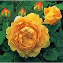 イングリッシュローズ:ゴールデンセレブレーション大苗5号角鉢植え