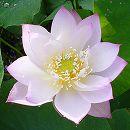 [17年5月中旬予約]花はす:桃源晄4.5号ポット