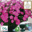 ペチュニア:マドンナの宝石(ピンク)と鉢と土と苗のセット