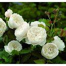 イングリッシュローズ:ウィリアム・アンド・キャサリン大苗5号角鉢植え