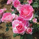 四季咲中輪バラ:ケアフリーワンダー大苗
