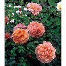 四季咲中輪バラ:空蝉(うつせみ)大苗6Lポット