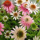 [17年5月中旬予約]八重咲きエキナセア(バレンギク):ピンクダブルデライト3号ポット