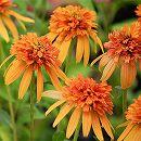 [17年5月中旬予約]八重咲きエキナセア(バレンギク):マーマレード3号ポット