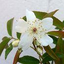 [17年3月中旬予約]モッコウバラ:白花一重 大苗4号ポット
