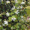トキワマンサク:白花青葉3.5号ポット