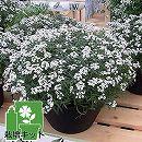 植え込み栽培セット:スーパーアリッサムスノープリンセスと平鉢ジョイ・培養土付き