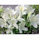 ツツジ:レンゲツツジ白花3.5号ポット