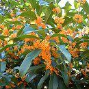 キンモクセイ(金木犀)単木樹高1.5〜1.6m根巻き