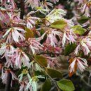 トキワマンサク:咲き分け樹高1.2m根巻き