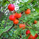 カルシウムの木(赤実)5号ポット