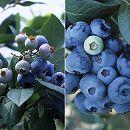 群馬県産品種ブルーベリー:あまつぶ星とおおつぶ星2種4株セット3号ポット