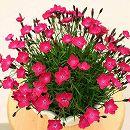 芳香四季咲きなでしこ:かほりスカーレット3号ポット12株セット