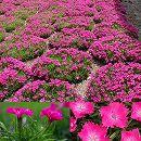 [17年3月中旬予約]ナデシコ(ダイアンサスカーペット)花はなローズ3号ポット12株セット