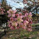 桜:ヒマラヤザクラ(プルナス セラソイデス)8号地中ポット樹高1.2m