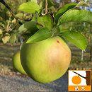 リンゴ:グラニースミス(クッキングアップル)5号ポット