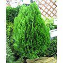 オウゴンコノテ(黄金コノテガシワ)8号樹高80cm