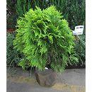 ニオイヒバ:グロボーサオーレア8号ルートバック樹高1m