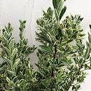 マサキ(柾):斑入り銀マサキ8号ポット樹高80cm