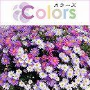 カラーズ:姫小菊Bミックス3.5号ポット