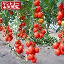 [17年4月中旬予約]トマト:ボンリッシュ3号ポット