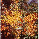 シーベリー受粉セット:アスコラとオス木のセット