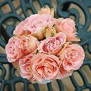 四季咲中輪バラ:ロマンティック・レース新苗