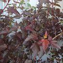 テマリシモツケ:ディアボロ7号ルートバック樹高1〜1.2m