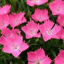 ナデシコ:花はなライトサーモン3号ポット3株セット