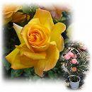 [バラ行燈予約]つるバラ:サハラ'98 8号大型アンドン仕立て