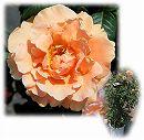 [バラ行燈予約]つるバラ:ロイヤルサンセット 8号大型アンドン仕立て