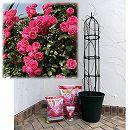 つるバラ栽培セット:ポンポネッラ大苗長尺と鉢・オベリスク・用土・肥料のセット
