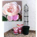つるバラ栽培セット:マダム・ピエール・オジェ大苗長尺と鉢・オベリスク・用土・肥料のセット