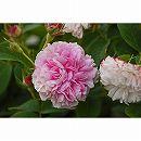[17年5月中旬予約]オールドローズ:ピンク レダ新苗