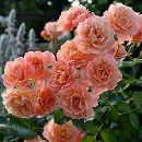 [17年5月中旬予約]デルバールローズ:ボルデュール・アプリコ新苗4号鉢植え