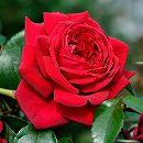 [17年5月中旬予約]デルバールローズ:リパブリック・ドゥ・モンマルトル新苗4号鉢植え