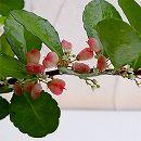 ハートツリー3.5号鉢植え
