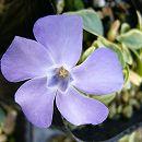 ビンカ ミノール(ヒメツルニチニチソウ):斑入り葉・青花3号ポット2株セット