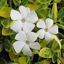 ビンカ ミノール(ヒメツルニチニチソウ):白花斑入り葉3号ポット2株セット