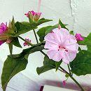 2段咲きオシロイバナ:微笑みがえしピンク3号ポット