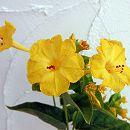 2段咲きオシロイバナ:微笑みがえしイエロー3号ポット