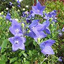 [17年5月中旬予約]キキョウ(桔梗):紫花3.5号ポット(高性)