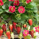 イチゴ:四季なりいちご紅茜3号ポット12株セット