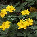 八重咲き黄花イチゲ2.5号ポット