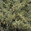 シルバープリペット樹高1m根巻き