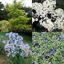 人気の花木セット:ニセアカシア・フリーシアと柏葉アジサイ